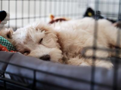 ケージの中で眠る犬