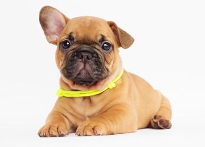 黄色い首輪の子犬