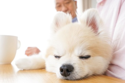 眠っているポメラニアン