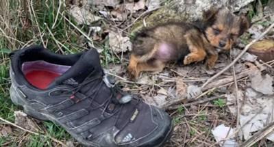 靴の横に茶色の子犬