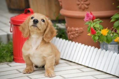 ダックスフンドの子犬