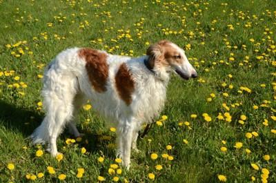ボルゾイの子犬