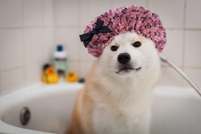 シャワーキャップをしている日本犬