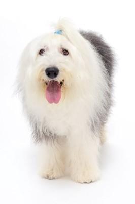 舌を出す犬の写真