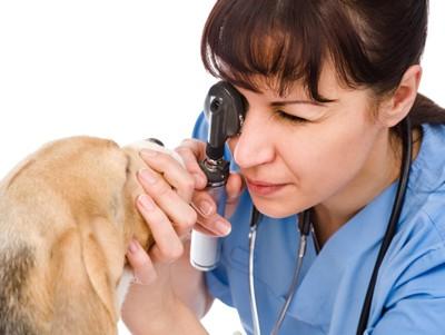 犬の眼を診察する医師