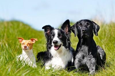 草むらで並んで伏せる三匹の犬
