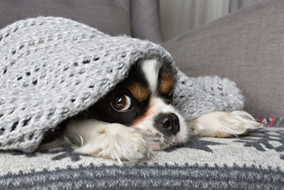 ブランケットをかぶる犬
