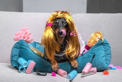 金髪のかつらをかぶった犬