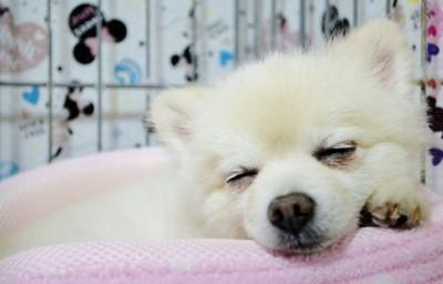 寝床で眠る犬