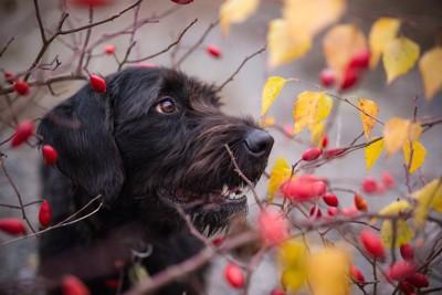 赤い木の実と犬の横顔