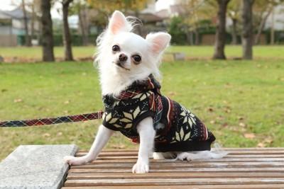 セーターを着て散歩をするチワワ