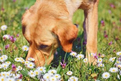 地面のにおいを嗅ぐラブラドール、白い花