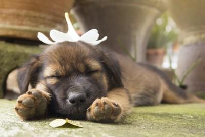 頭の上に花を乗せて眠る子犬