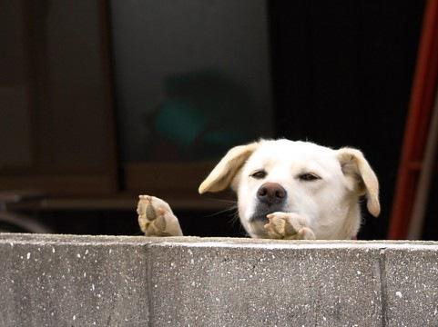 塀から覗く犬