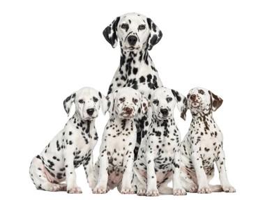 ダルメシアンの親犬と4匹の子犬