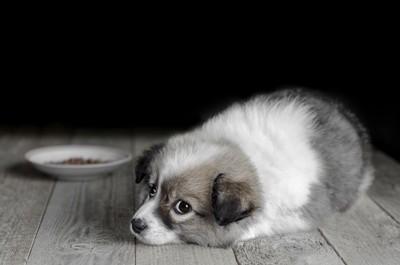 ご飯の前で伏せている犬