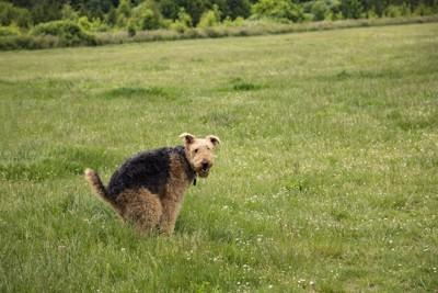草原でウンチポーズをしている犬
