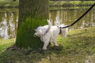 木にマーキングする白い犬