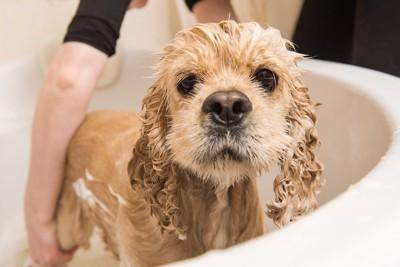シャンプーをされている犬