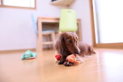おもちゃで遊ぶダックス