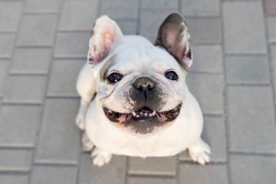 笑顔で見上げるフレブル