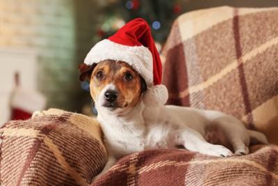 サンタの帽子をかぶる犬