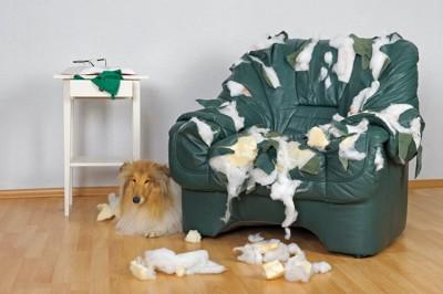 ボロボロに破壊されたソファーとコリー