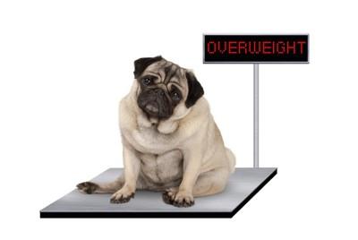 体重計に乗る太り気味のパグ