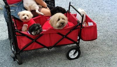 赤いカートに乗ってお散歩、犬四頭