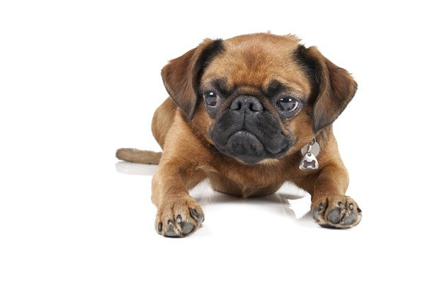 伏せるプチブラバンソンの子犬