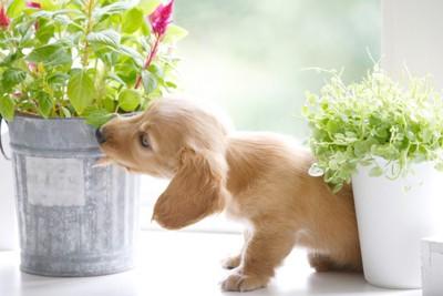 観葉植物の匂いを嗅ぐ子犬