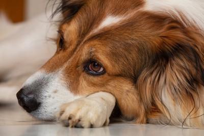 悲し気に伏せている犬