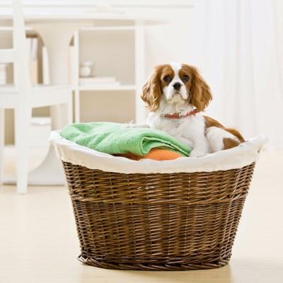 洗濯籠の中にいるキャバリア
