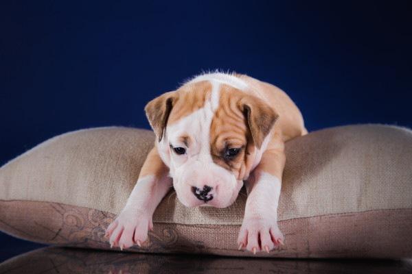 クッションの上のアメリカンスタッフォードシャーテリア子犬