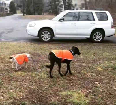車に向かって歩く犬