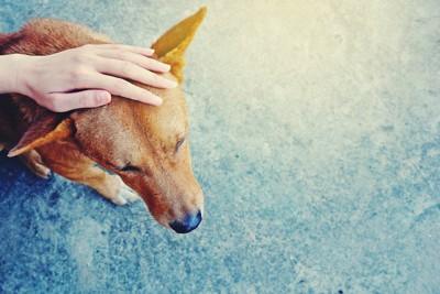 頭を撫でられている茶色い犬