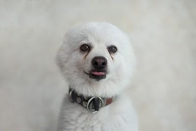 耳を後ろに向けている白い犬