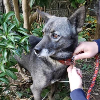 首輪をつけられている犬