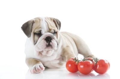 子犬とミニトマト
