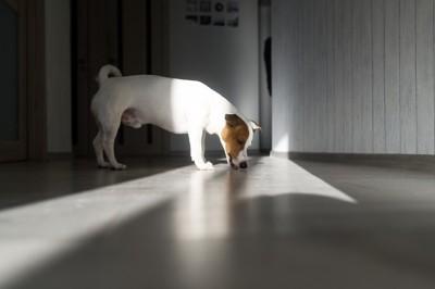 床を舐めている犬