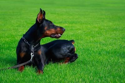 チョークチェーンをして芝生に座っている犬