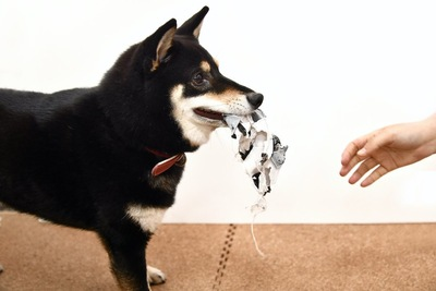 いたずらをする柴犬と静止しようとする人の手