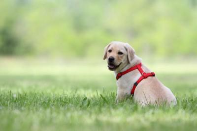 赤いハーネスを着けた子犬