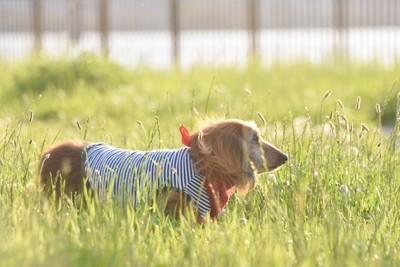 草むらに赤いバンダナのダックス