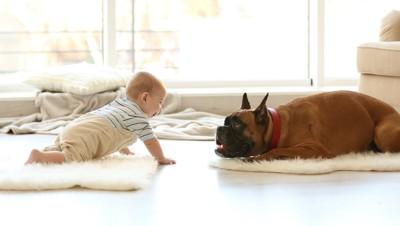赤ちゃんと同じ姿勢になって遊ぶボクサー