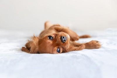寝転んでいるキャバリアの子犬