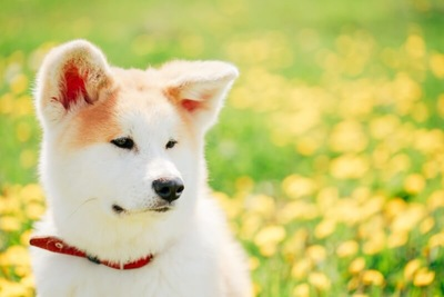 キメ顔の秋田犬