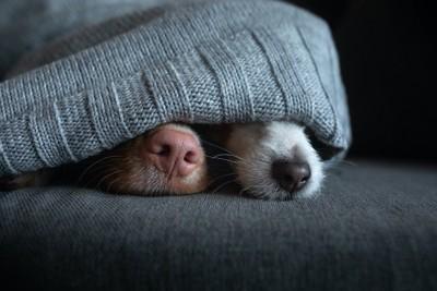 ブランケットを被って鼻だけ出している二匹の犬