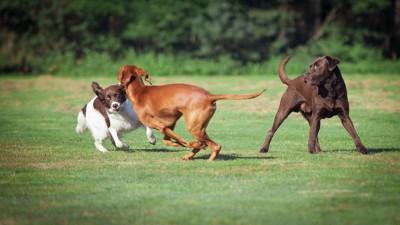 芝生で遊んでいる3匹の犬