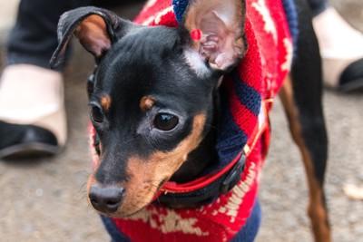 セーターを着て散歩するミニチュアピンシャー
